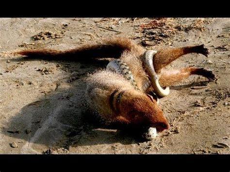 mongoose  black mamba bratya menshie postila okhota