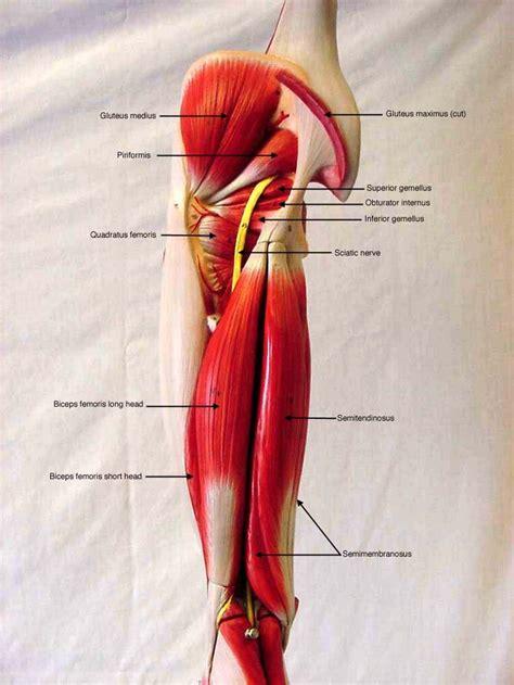 somsoarmmusclemodellabeled biol  human anatomy