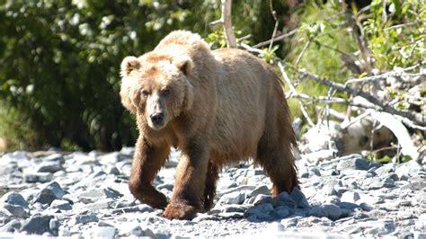 Tens of millions of stock videos & illustrations. Brown Animal Bear Wallpaper | HD Wallpapers