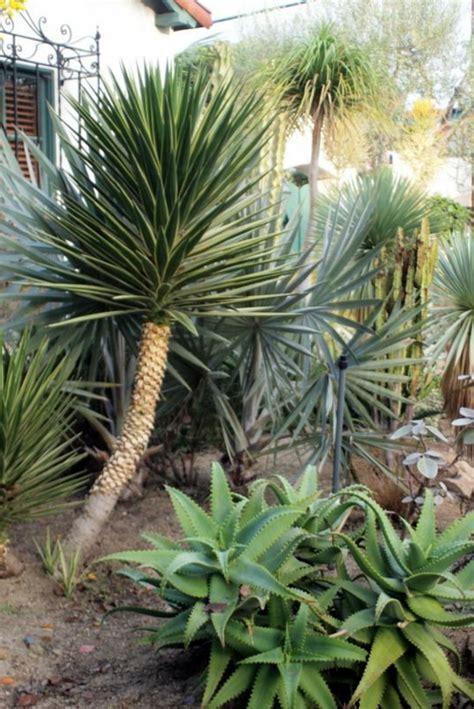 Yucca Palme  26 Fantastische Bilder Zur Inspiration