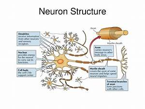 Ppt - Neuron Structure Powerpoint Presentation