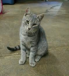 tabby cat tabby cats pictures and info