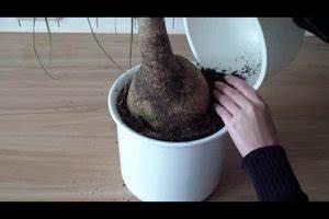 Ficus Benjamini Gelbe Blätter : video elefantenfu die pflanze richtig umtopfen ~ Watch28wear.com Haus und Dekorationen