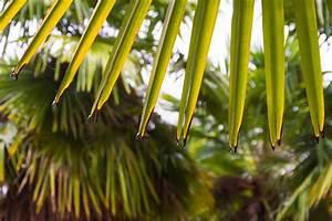 Hanfpalme Braune Blätter : chinesische hanfpalme bekommt braune bl tter ursachen ~ Lizthompson.info Haus und Dekorationen