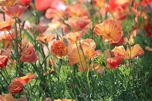 Keimzeit Saatgut De : goldmohn thai silk 39 apricot chiffon 39 ~ Lizthompson.info Haus und Dekorationen