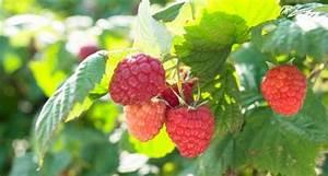 Erdbeeren Pflegen Schneiden : 153 best kr uter erdbeeren und co images on pinterest ~ Lizthompson.info Haus und Dekorationen