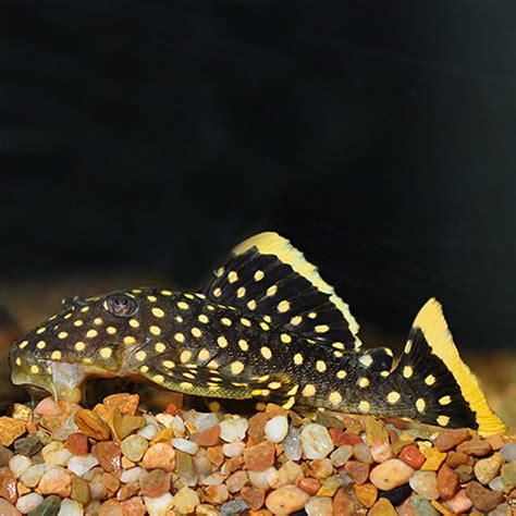 plecostomus suckerfish  tropical fish