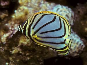 Chaetodon meyeri (Meyer's butterflyfish)