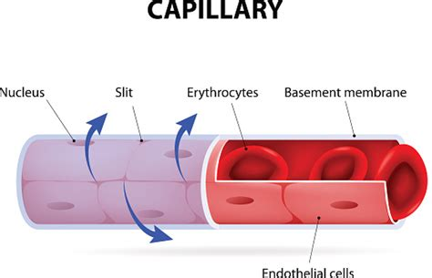 Blood vessels are part of the circulatory system, and they transport blood throughout the body. Capillary Blood Vessel Labelled Stock Illustration - Download Image Now - iStock