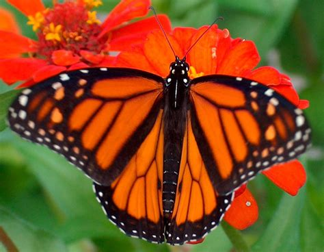 Millions Of Monarch Butterflies Freeze To Death In Mexico