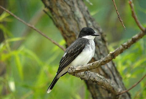 eastern kingbird tyrannus tyrannus photo charlie lentz