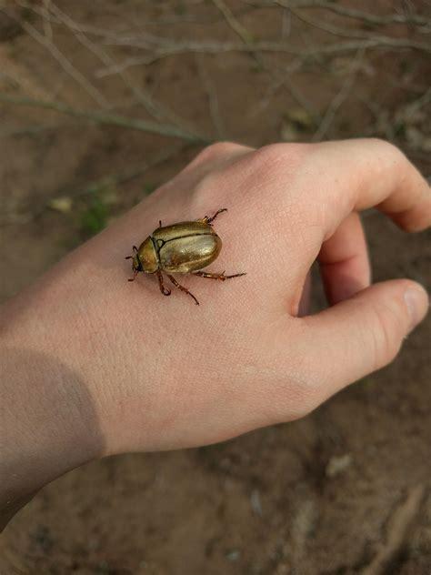 Shiny golden beetle? : whatsthisbug