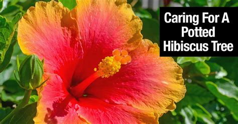 caring for hibiscus in pots hibiscus tree how to grow and care for hibiscus plant