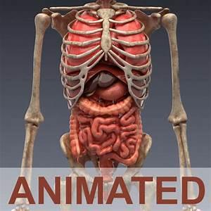 3d Model Human Anatomy Animated Skeleton And Internal