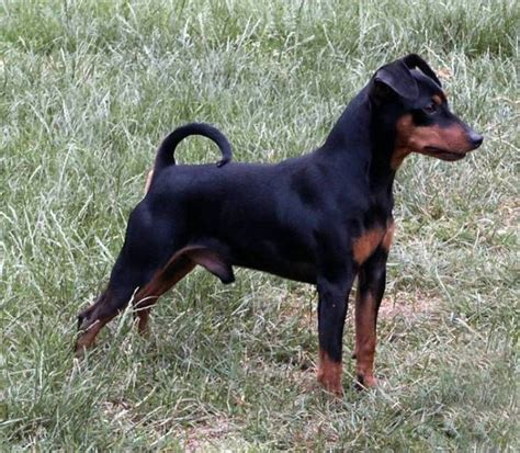 99 best images about miniature pinscher dogs on pinterest