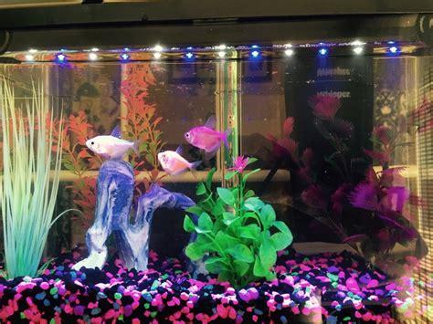 glofish      gallon tank