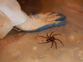 Wolf Spider vs Brown Recluse Bite