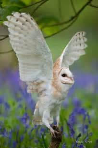Beautiful Barn Owl Flying