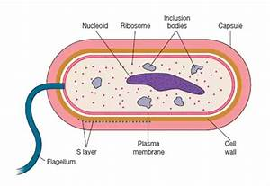 What Is A Capsule In A Prokaryotic Cell