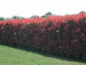 Arbuste Persistant Haie : photinia un arbuste persistant incontournable jardins ~ Premium-room.com Idées de Décoration