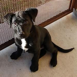 Pitbull and black lab mix | animals | Pinterest | Lab ...