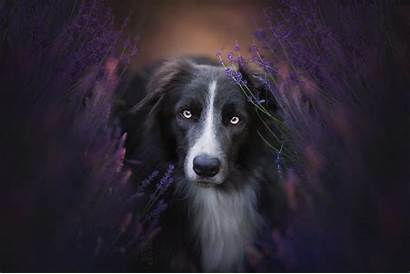 Border Collie Dog Animals Creation Adam Wallpapers