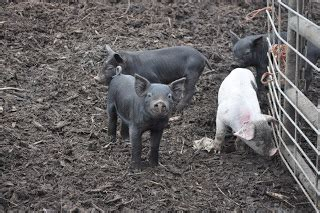 heat ls for pigs meat 50 f 10c degrees pigs think heat wave
