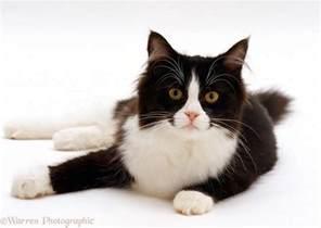 black and white cat black and white cat photo wp15717