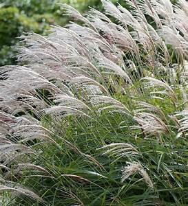 Gracillimus Maiden Grass | Miscanthus sinensis ...
