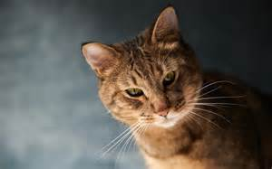 brown cat beautiful brown cat with green wallpapers and images
