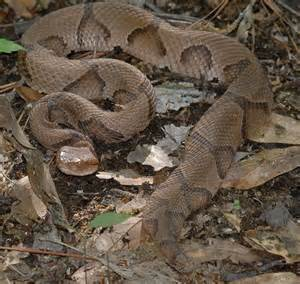 Water Snake vs Copperhead