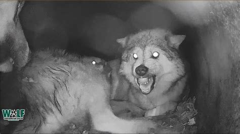 wolf mamas  time  interrupted  needy pups
