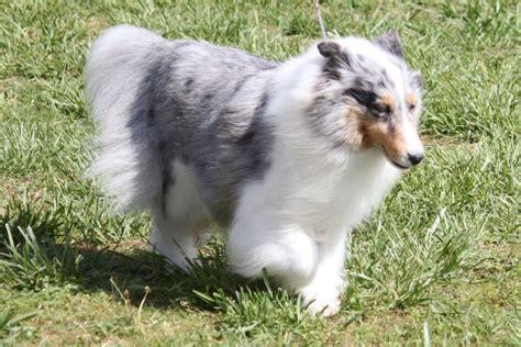 shetland sheepdog breed information shetland sheepdog