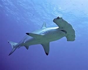 Tiburón Martillo o Pez Martillo: Información y características ElBlogVerde