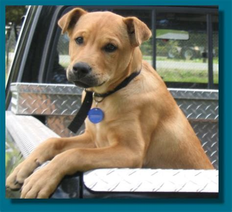Do Shar Pei Lab Mix Shed by New Photos Of My Corgi Mix Mixed With What Though