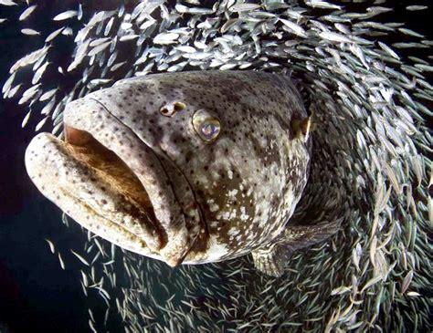 grouper giant ocean