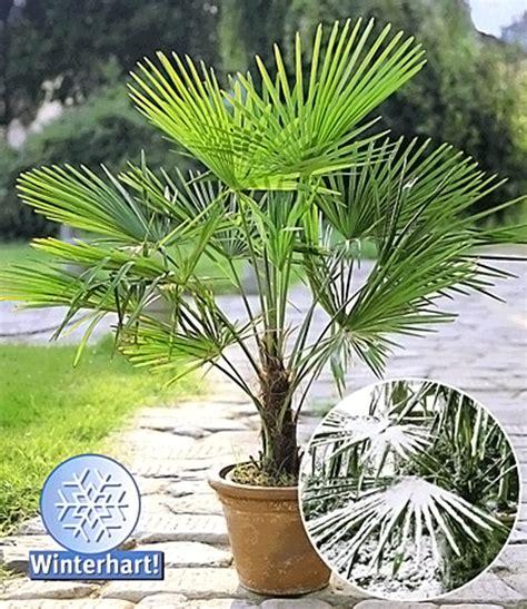Winterharte Pflanzen Kübel by Winterharte K 252 Bel Palme 1a K 252 Belpflanzen Baldur Garten