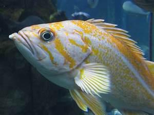 canary rockfish | Backyard Zoologist