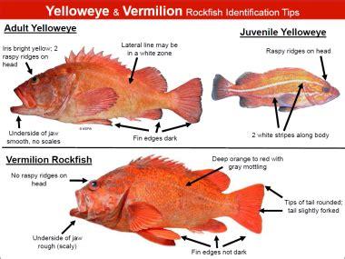 rockfish identification tips oregon department  fish