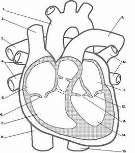 Circulatory System Worksheet Without Labels