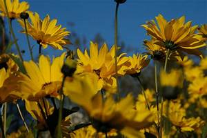 Gelbe Sommerblumen Mehrjährig : gelbe sommerblumen foto bild pflanzen pilze flechten bl ten kleinpflanzen ~ Frokenaadalensverden.com Haus und Dekorationen