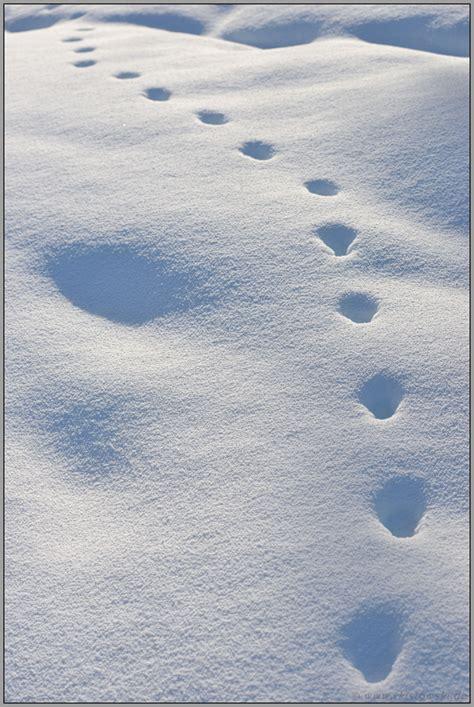 spuren im schnee amerikanischer rotfuchs vulpes vulpes