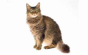 Cats La : laperm cat info temperament care training kittens pictures ~ Orissabook.com Haus und Dekorationen