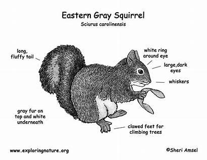 Squirrel Gray Eastern Coloring Diagram Science Flying