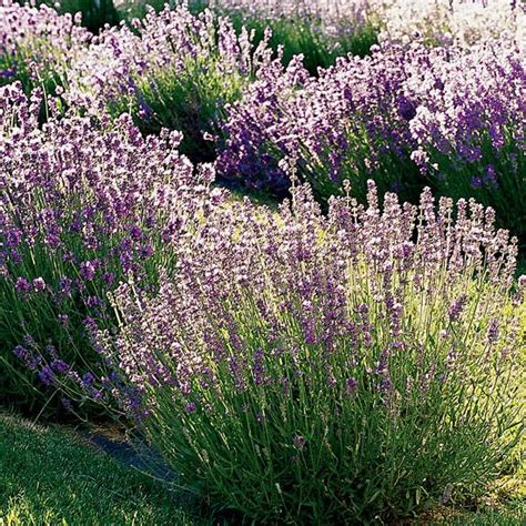 soil type for lavender 25 best ideas about lavender varieties on pinterest types of lavender plants lavender garden
