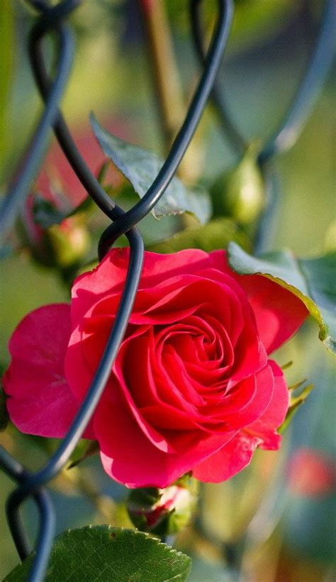 epic  hd rose flower wallpapers  android