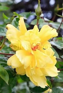 Busch Mit Gelben Blüten : sch ner fr hling strauch mit gelben bl ten makro stockfoto colourbox ~ Frokenaadalensverden.com Haus und Dekorationen