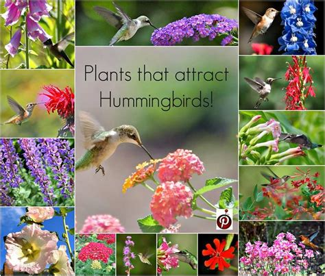 plants that attract hummingbirds way to plant ann