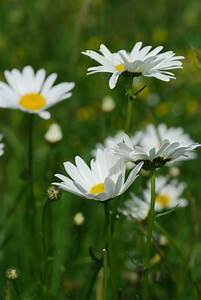 Oxeye Daisy | N... Daisy