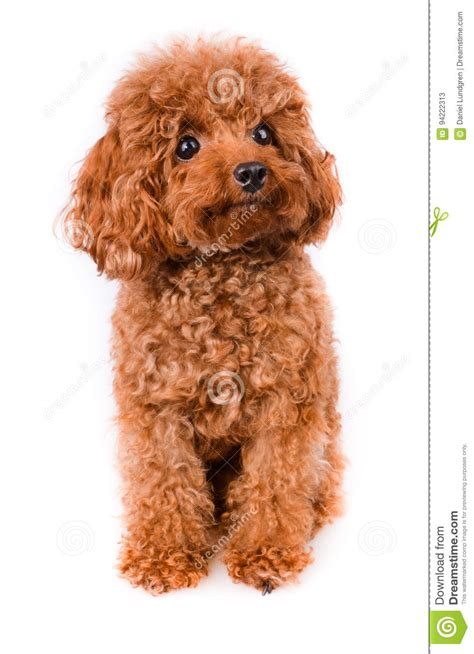 1000 images about dogs on pinterest poodles standard